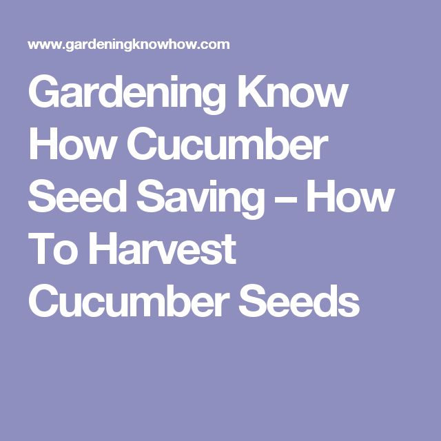 Gardening Know How Cucumber Seed Saving – How To Harvest Cucumber Seeds
