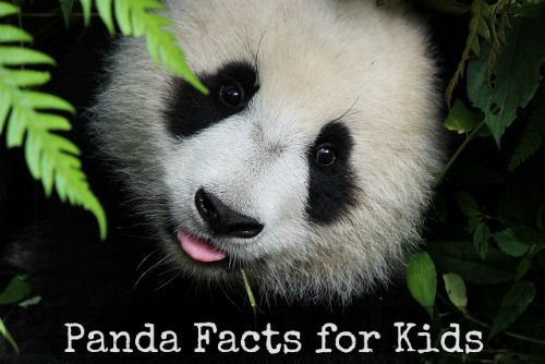 Panda Facts, Books, Crafts, Videos & More for Kids (from Kid World Citizen)