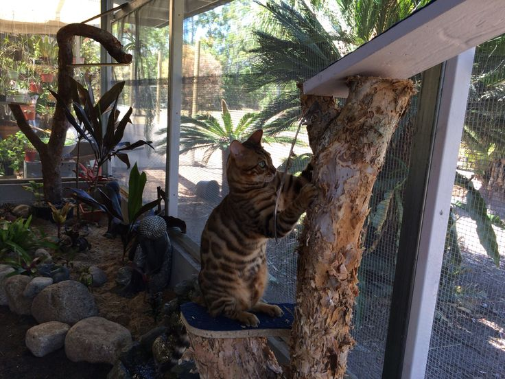 Bengal cat Zeus playing with his most favourite thing....feathers