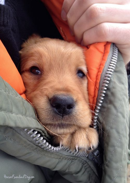 sarcaveman:  adoglywoman:  dog-pictures:  Dog Pictures #NewPost [2]  *squees like never before*   Adorable