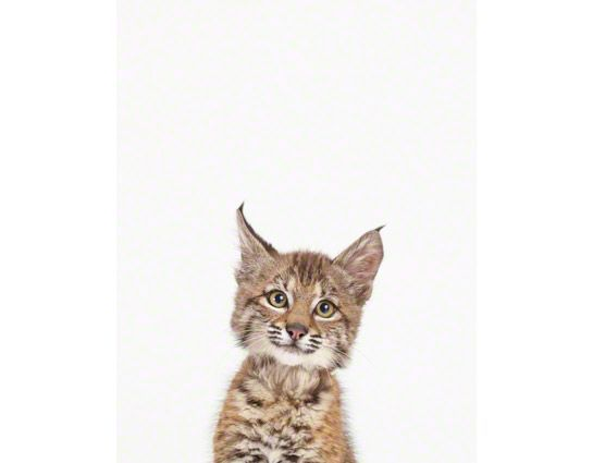 Baby Bobcat! This store sells fine art animal photo prints. Including lots or adorable baby animals!