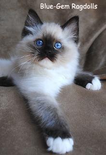 gorgeous seal mitted ragdoll kitten