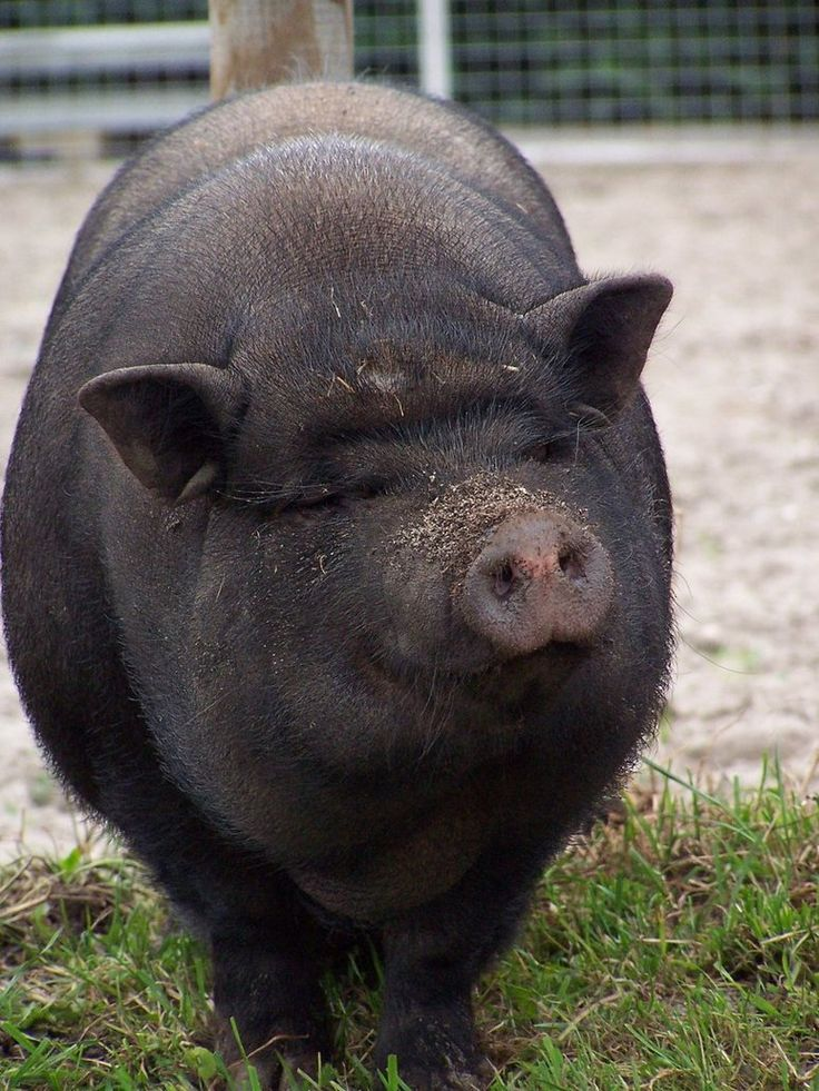 """I love animals!!  Always wanted to say, """"That'll do pig, that'll do!"""""""