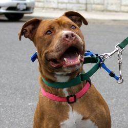 MILLIE: Amer Staffordshire Terrier,  YONKERS, NY  Please contact Leslie, our vol. adoption coordinator, 201-981-3215 or email: crysros1@aol.com  or come see us at the shelter.  Millie is a beautiful Red nose pit who's been here about a yr -Millie's 2 yrs old & 55 lbs. She's a good dog, gets along with other dogs,loves people-especially if they have a tennis ball in their hand. See Millie's video on the site! www.petfinder.com/petdetail/16028587#  All she needs is love & a NEW HOME-Please…