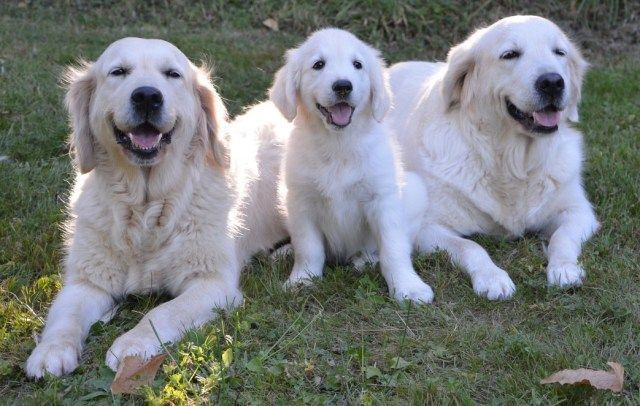 We Love Golden Retrievers What About You Goldenretrievers