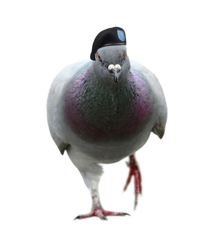 Pigeon Plague Our Cities Essay