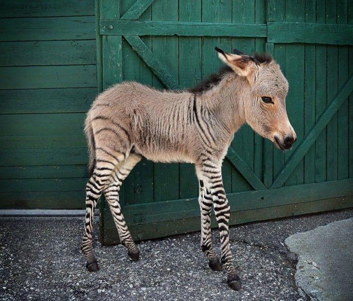15 Exemples D'animaux Hybrides Qui Vont Vous étonner