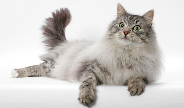 Everything you want to know about Norwegian Forest Cats, including grooming, health problems, history, adoption, finding good breeders, and more.