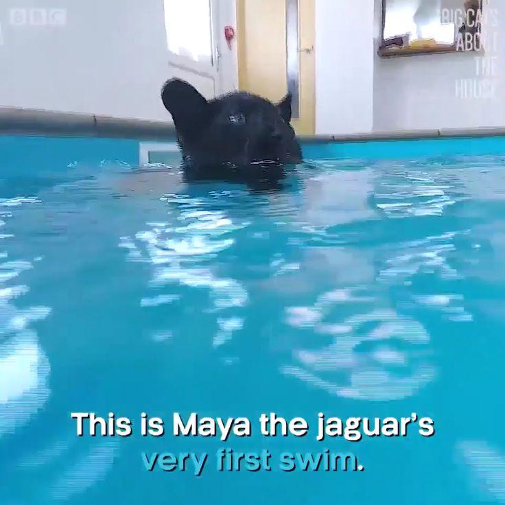 Jaguar's first swim.