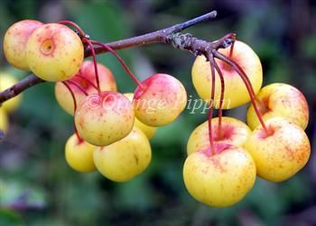 Malus Butterball crab-apple tree, good jelly.