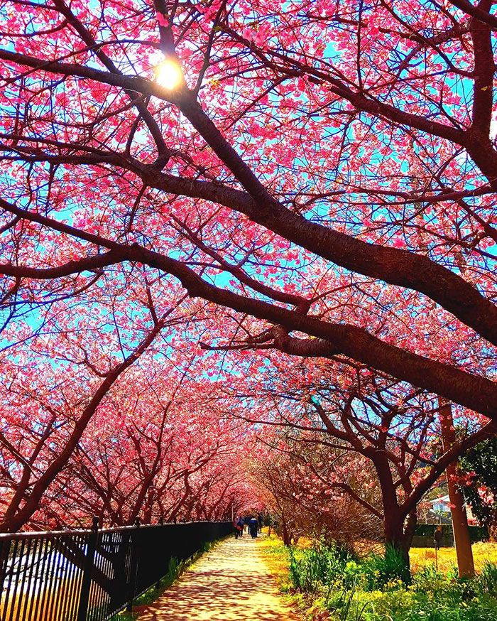 Cherry Blossoms Have Just Bloomed In This Japanese Town, blossoms, known assakua in Japanese,