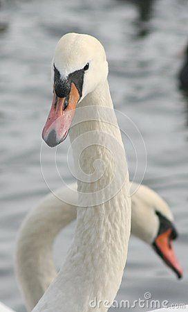 Beautiful swan in a lake
