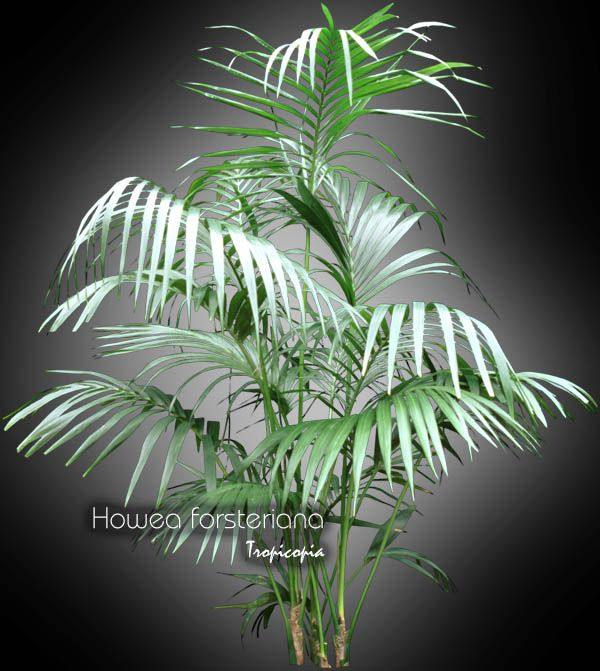inspiration tropical house plant care. House plant care and maintenance of  Howea forsteriana Palm Kentia palm Paradise 49 best HORTIKULTURA images on Pinterest Green plants