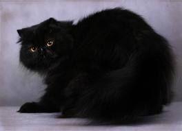 czarne koty rasowe - Szukaj w Google