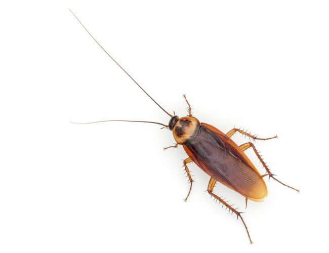 How To Get Rid Of Waterbugs Get Rid Of Waterbugs Palmetto Bugs Bug Infestation