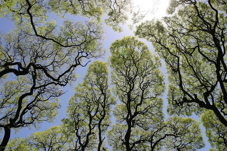 Crown shyness is a naturally occurring phenomenon in some tree species where the upper most branches in a forest canopy avoid touching one another. The visual effect is striking as it creates clearly defined borders akin to cracks or rivers in the sky when viewed from below. Although the phenomenon