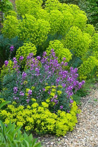 Wallflower & Euphorbia  Erysimum linifolium 'Bowles Mauve'