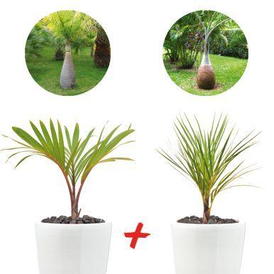 COLIPALMIERS  - Un plant de palmier Bouteille, pot de 2 à 3 litres, hauteur 35/60 cm - Un plant de palmier Bonbonne, pot de 2 à 3 litres, hauteur 35/60 cm - Un guide d'entretien de vote plantes tropicales