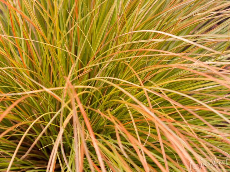 Orange hair sedge (Carex testacea) – wispy arching blades of olive green tipped in orange make this a fall and winter favorite.