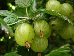 I will have some of these in my future yard -- I miss Grandma's Gooseberry pies!
