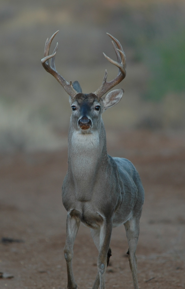 The Outdoors!  South Texas White Tail Deer