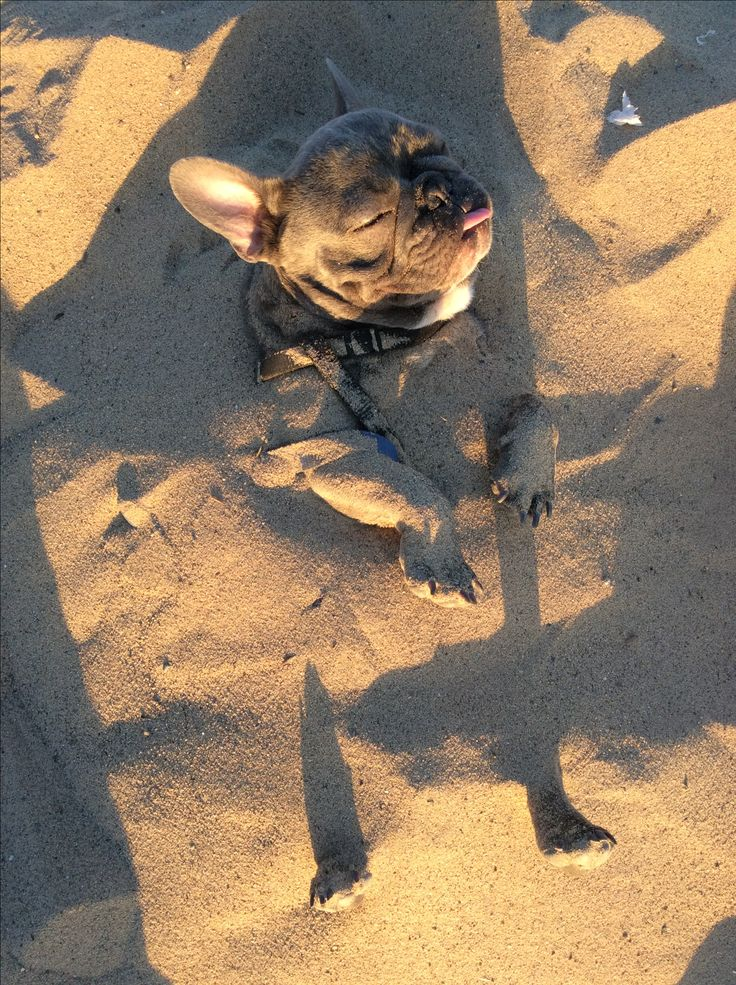 French Bulldog buried in the Sand ❤