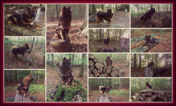 Hundeparkour i skoven med Saga