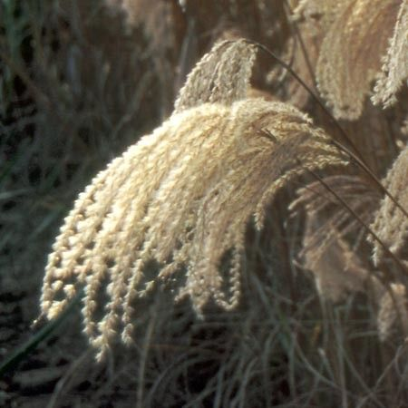 Miscanthus sinensis 'Kaskade' - Plantes et Jardins