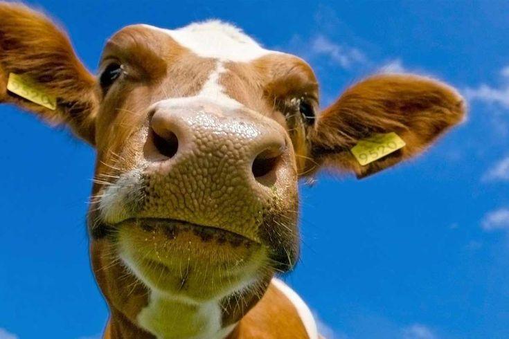 """""""Tienes dos vacas"""" se refiere a una clase de #sátira política que implica variaciones de un escenario, donde lo que ocurre a las vacas se utiliza para demostrar las ventajas y deficiencias de ciertos sistemas económicos, políticos y sociales."""