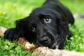 Resultado de imagen para perro de raza Cocker Ingles negro corte de pelo
