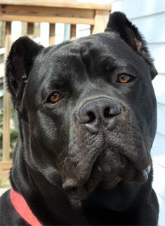 Our Cane Corso Dogs - Kennels - Breeders