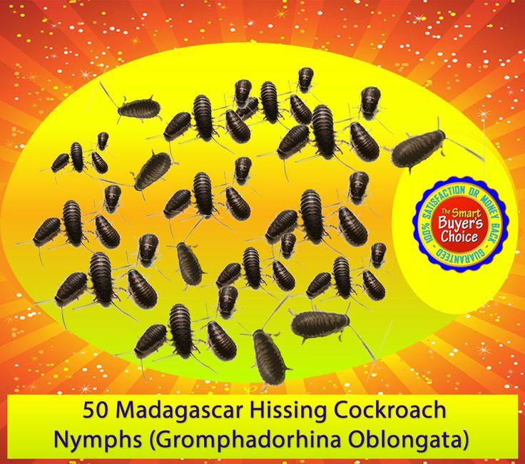 50 Live Madagascar Hissing Cockroach Nymphs (Gromphadorhina portentosa)