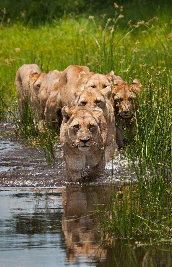 On the hunt, the Tsaro Pride near Duba Plains, Botswana