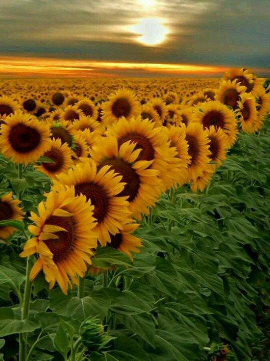 Someday we will watch fields of sunflowers....
