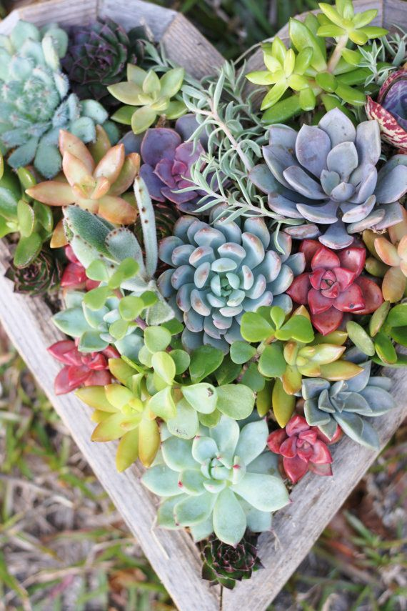 DIY or Planted Succulent Heart Living by RootedInSucculents