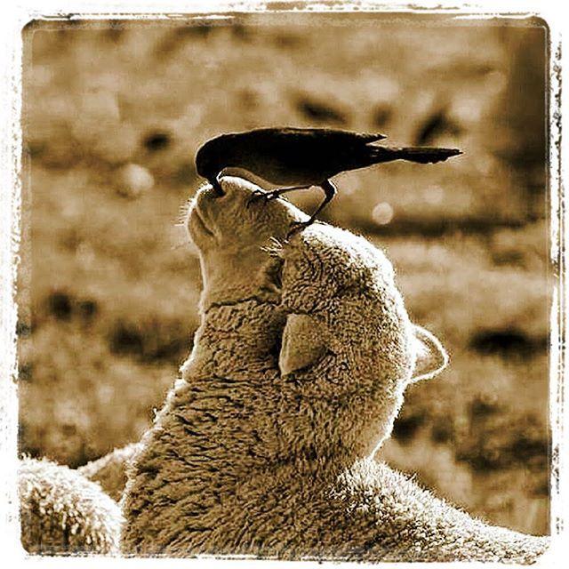Tenete presente questa cosa: Le pecore temono i lupi ma alla fine son sempre i pastori a portarle al macello!!! #adhocband #enjoy #live #music #rock #pensieri #mattino #pecore #lupi #verità #buona #giornata #Padova #Verona #Vicenza #Venezia #Treviso