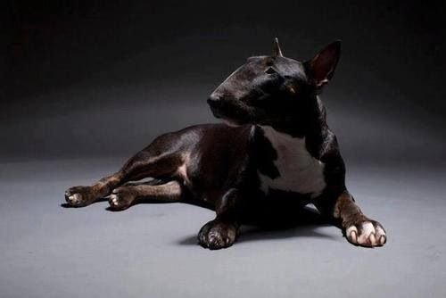 Bull Terrier with unusually dark coloration--love it!