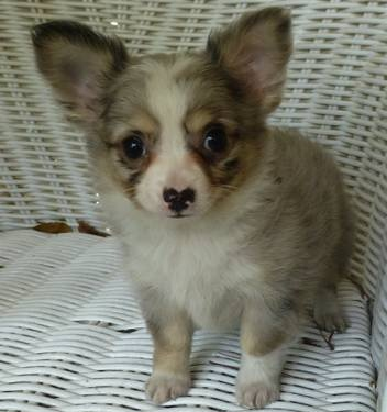 chihuahua long hair blue merle male puppy looks like my