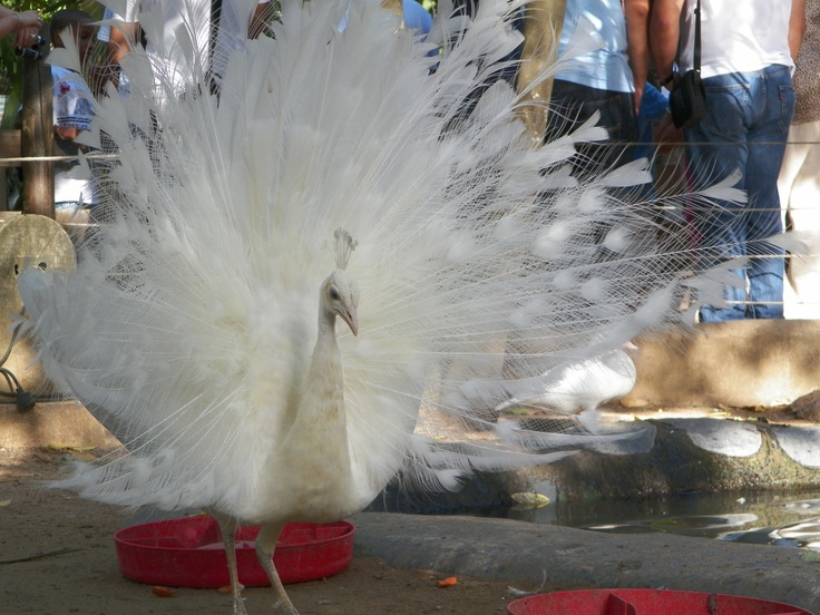 Un pavo real con plumas totalmente blancas. Casuso Fotos