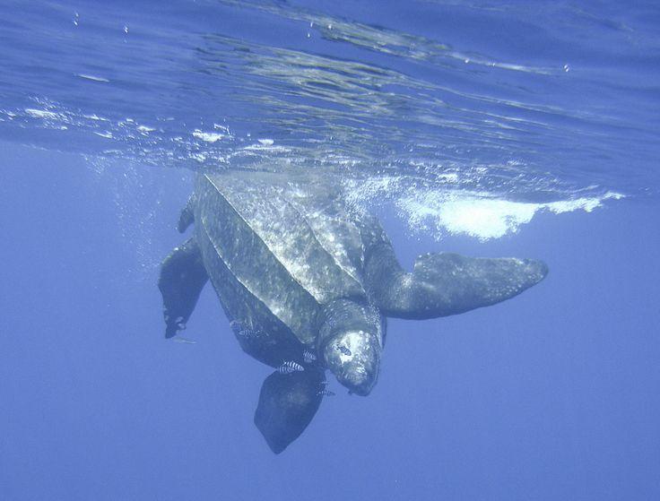 Nager avec une tortue Luth en Méditerranée : extraordinaire et impressionnant !