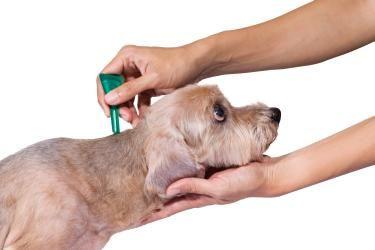 Wie wirkt Schwarzkümmelöl gegen Zecken bei Hunden und Welpen? Gibt es Nebenwirkungen? Alles was Sie zu dem Thema wissen müssen in unserem Ratgeber.