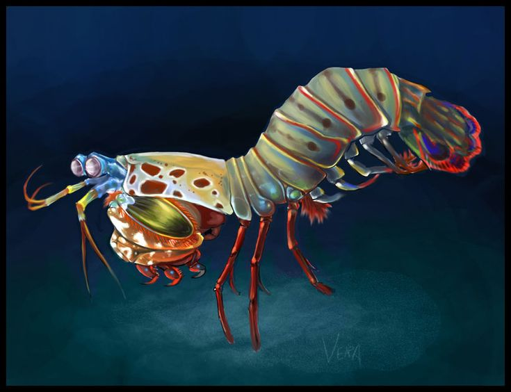 Peacock Mantis Shrimp - Definately would like to squeeze this guy in somewhere