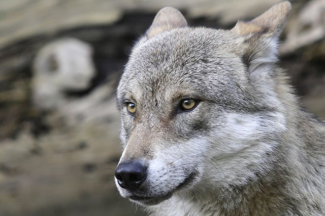 Yes, trophy hunting for bears and wolves is bad—but not for the reasons you think.