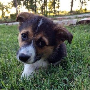 This corgi puppy who can't go five minutes without a big smooch. | 17 Puppy Faces You Actually Cannot Resist Kissing
