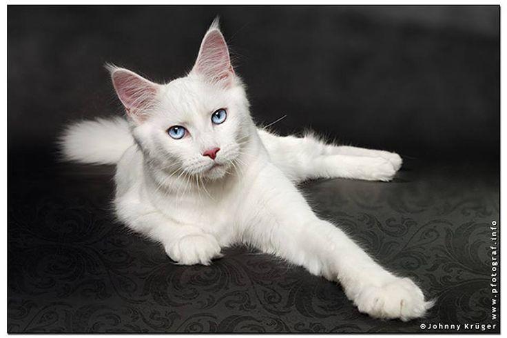 #MaineCoon #Blue #Eyed #Cats Kokomo Feline Fantasy Photo by #JohnKruger