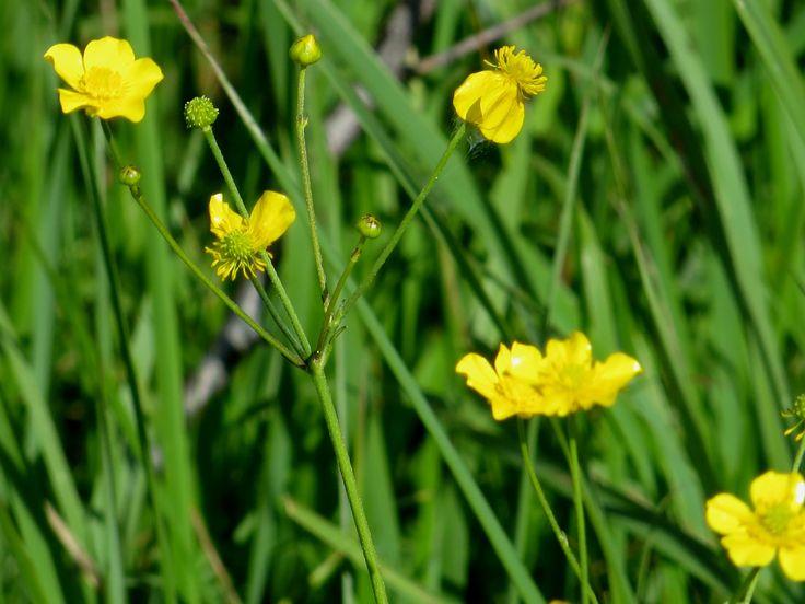 Wild Flowers, Botany, Russia, part 6 (Полевые цветы)