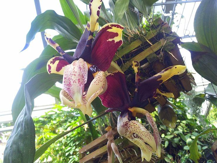 Nice Orchideenbl te im Tropenhaus des Berggarten Hannover Herrenhausen aufgenommen und gepinnt vom Immobilienmakler und Hausverwalter in