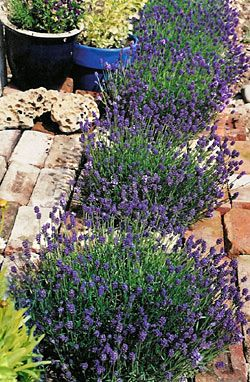 Dwarf Thumbelina Leigh English lavender for small gardens. Perfect for containers and tiny paving pockets and edging. Blooms three times per year.