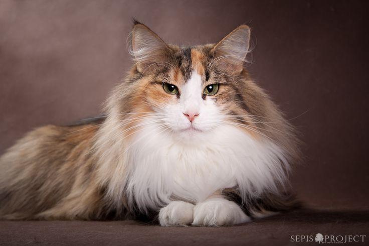 Koty norweskie leśne - hodowla Kiyo'Kag*PL | Kotki Norweskie Leśne