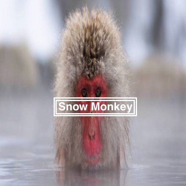 Snow Monkey Park - Jigokudani, Japan: Complete Guide
